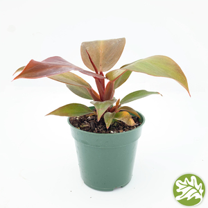 "PHILODENDRON McColley Finale 4"" pot"